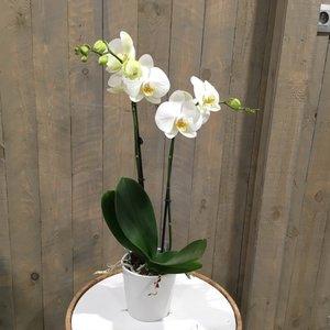 Orchidee wit met potje
