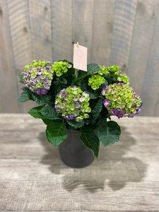 hortensia paars + po grijs