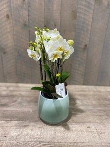 phalaenopsis Boquetto + potje